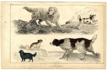 1851 Antique Print DOGS English Setter COCKER King Charles SPANIEL Comforter OLIVER GOLDSMITH